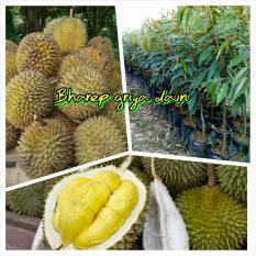 Bibit Durian Bhinneka Bawor