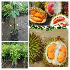 Bibit Durian Duri Hitam Kaki 3