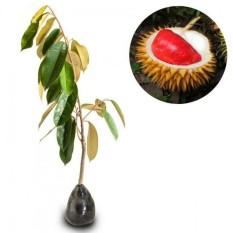 Bibit Durian merah unggul