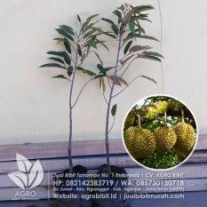 Bibit Durian Monthong Okulasi 60 cm