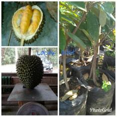 Bibit Durian Musang King Kaki 3 Super Asli