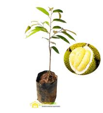 Bibit Durian Musangking Buah Musang King Unggul