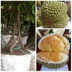 Bibit Durian Musangking Kaki 3 Super Unggul