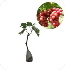 Bibit Eksotic Anggur Red Caroline