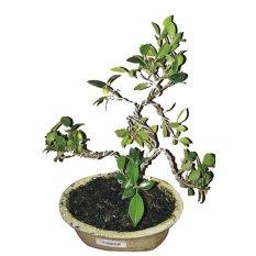 Bibit Eksotic Bonsai Pohon Kimeng