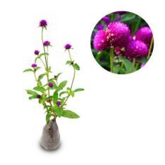 Bibit Eksotic Bunga Kancing
