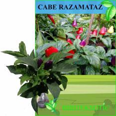 Bibit Eksotic Cabe Pelangi / Razamataz