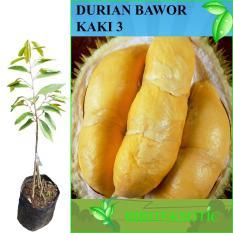 Bibit Eksotic Durian Bawor Kaki 3