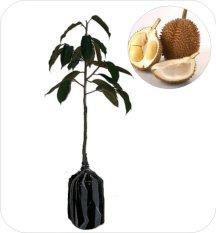Jual Bibit Eksotic Durian D24 Ori