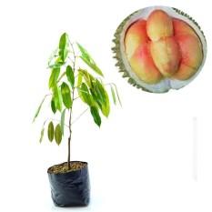 Bibit Eksotic Durian Pelangi