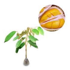 Bibit Eksotic Durian Petruk