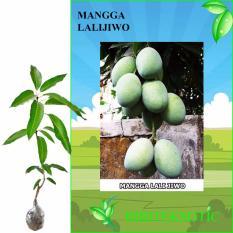 Review Bibit Eksotic Mangga Lalijiwo Jawa Timur