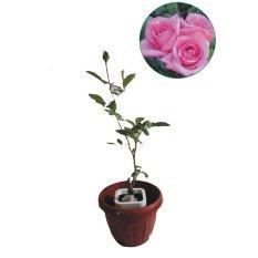 Bibit Eksotic Mawar Pink