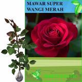 Harga Bibit Eksotic Mawar Super Wangi Merah Bibit Eksotic Baru
