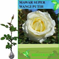 Toko Bibit Eksotic Mawar Super Wangi Putih Bibit Eksotic Online