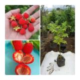 Diskon Bibit Eksotic Raspberry Bibit Eksotic
