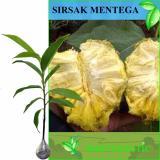 Spek Bibit Eksotic Sirsak Mentega Kuning Jawa Timur
