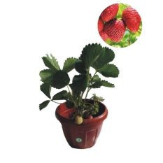 Bibit Eksotic Strawberry