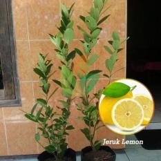 Bibit Jeruk Lemon Okulasi 30 cm