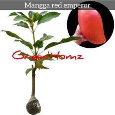 Bibit mangga super red/red emperor