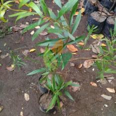 Bibit Pohon Kayu Putih
