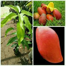 Bibit Pohon Mangga Yuwen 60Cm