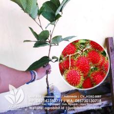 Bibit Rambutan Binjai Okulasi 40 cm
