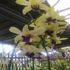 Bibit Tanaman Anggrek Dendrobium Yellow Purple Tongue