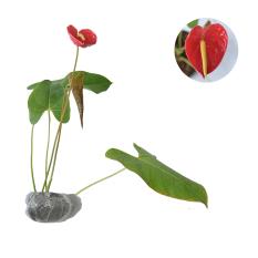 Bibit Tanaman Anthurium Bunga Bangkok Merah
