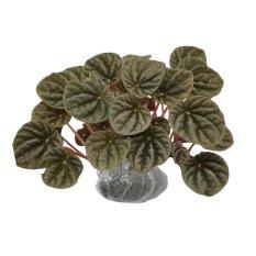 Bibit Tanaman Begonia Childhood Terbaru