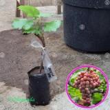Harga Bibit Tanaman Bibit Buah Anggur Red Prince 20Cm Bibit Tanaman Original