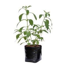 Harga Bibit Tanaman Bibit Tanaman Stevia 30Cm Yang Murah Dan Bagus