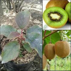 Bibit Tanaman Buah Kiwi