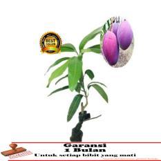 bibit tanaman buah - Mangga Irwin