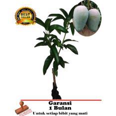 bibit tanaman buah - Mangga Kiojay