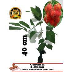 bibit tanaman buah rambutan binjay 40cm
