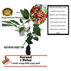 bibit tanaman buah rambutan rapiah 50cm