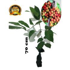 bibit tanaman buah rambutan rapiah 70cm