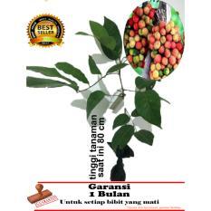 bibit tanaman buah rambutan rapiah 80cm