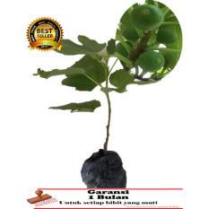 BIBIT TANAMAN BUAH - Tin Green Yordan ( Gy )