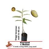 Toko Bibit Tanaman Durian Bawor Kaki 3 40Cm Termurah Lampung