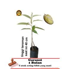 bibit tanaman durian bawor kaki 3  40cm