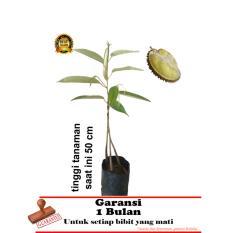 bibit tanaman durian bawor kaki 3  50cm