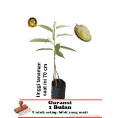 bibit tanaman durian bawor kaki 3  70cm