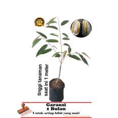 bibit tanaman durian duri hitam oache  1 meter