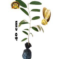 bibit tanaman durian montong 40cm