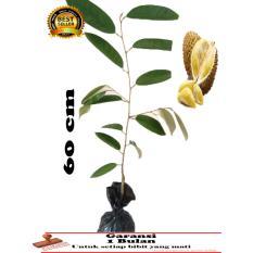 Bibit Tanaman Durian Montong 60Cm Lampung Diskon 50