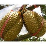 Spesifikasi Bibit Tanaman Durian Montong Bibit Tanaman