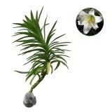 Jual Bibit Tanaman Easter Lily Jawa Timur