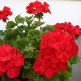 Harga Bibit Tanaman Geranium Merah Red Pelargonium New